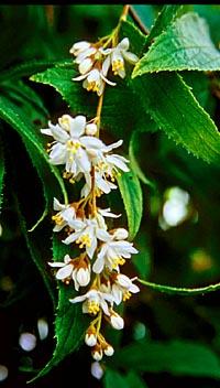 Deutzia cordatula
