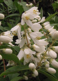 Deutzia crenata v. heterotricha