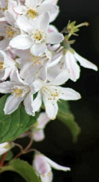 Deutzia discolor 'Major'