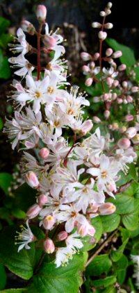 Deutzia gracilis v. ogatae