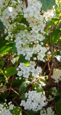 Deutzia parviflora v. amurensis