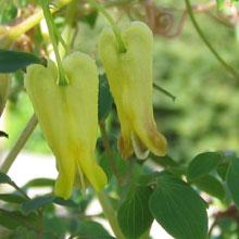 Dactylicapnos scandens