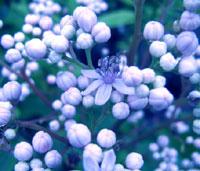 Dichroa aff. hirsuta from Lao