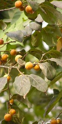 Diospyros species from Vietnam
