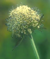 Dipsacus japonicus