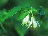 Disporum hookeri = see Prosartes