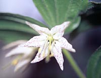 Disporum maculatum = see Prosartes