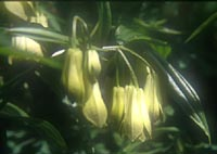 Disporum nantauense