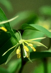 Disporum smilacinum