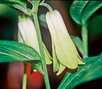 Disporum sessile