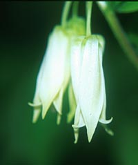 Disporum smithii = see Prosartes