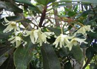 Drimys granatensis v. grandiflora