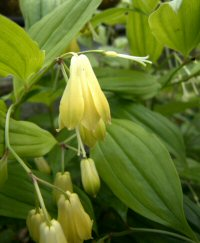 Disporum cantoniense v. kawakamii