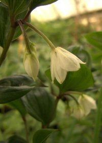 Disporum leschenaultianum