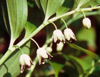 Disporopsis taiwanensis