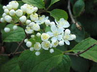 Deutzia parviflora v. barbinervis